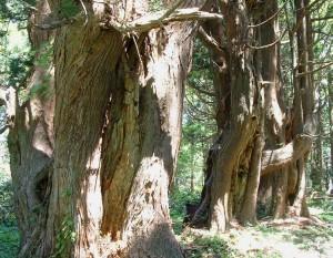 幻想の森(山の内杉)