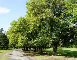 原蚕の杜のクワの大木